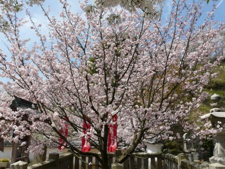 西法寺 薄墨桜 2