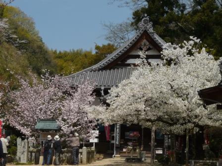 西法寺 薄墨桜・大島桜