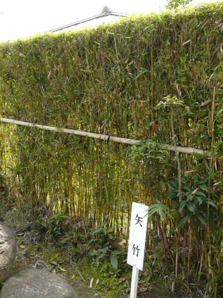 天赦園 矢竹