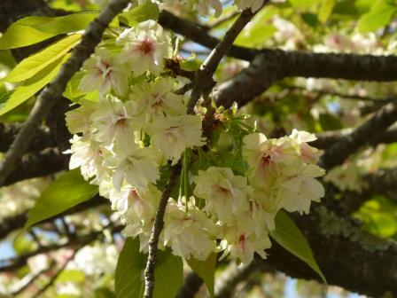 祇園公園 八重桜 1