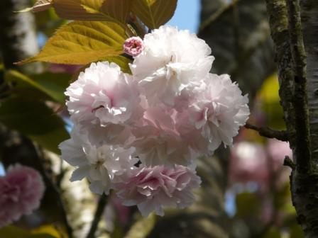祇園公園 八重桜 4