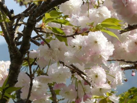祇園公園 八重桜 5