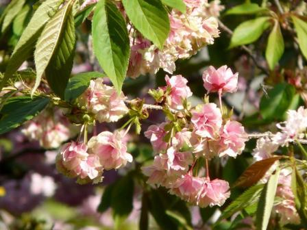 祇園公園 八重桜 3