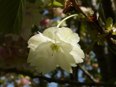 祇園公園 八重桜 2