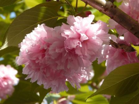 祇園公園 八重桜 6