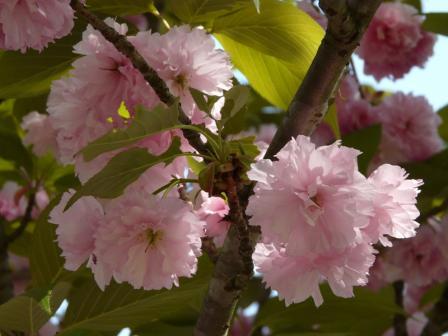 祇園公園 八重桜 7