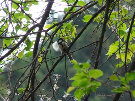 白猪の滝 シジュウカラ 1