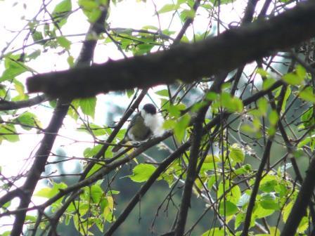 白猪の滝 シジュウカラ 2