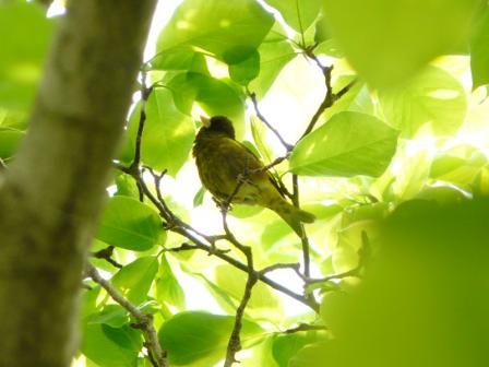 森の交流センター カワラヒワ 3