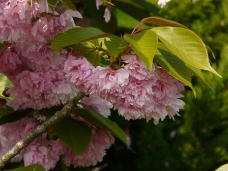 フラワーパーク・市民の森 八重桜