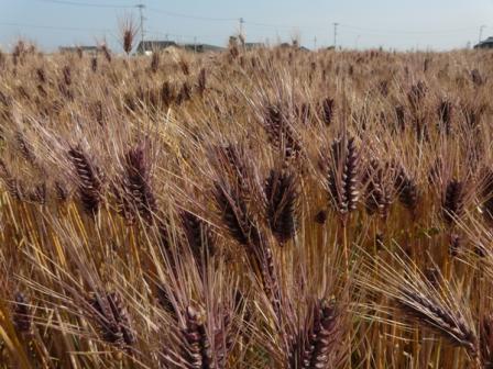 麦畑 もち麦 2