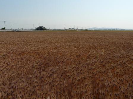 麦畑 もち麦 1