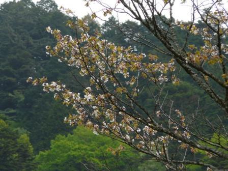 住友の森 オオヤマザクラ 1
