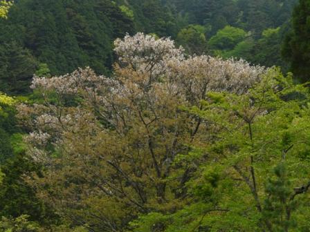 住友の森 オオヤマザクラ 2