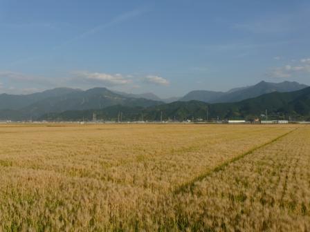 麦畑 はだか麦 1