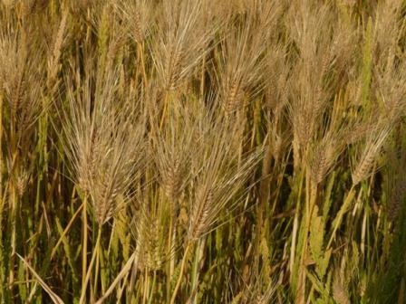 麦畑 はだか麦 2