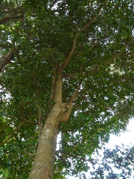 梼の木 (イスノキ)