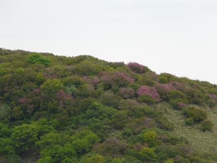 少し咲き残る ツルギミツバツツジ 2