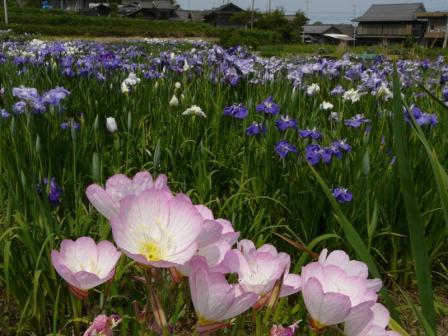 櫛生菖蒲園 ヒルザキツキミソウと花菖蒲