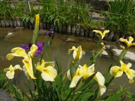 新谷菖蒲園 3