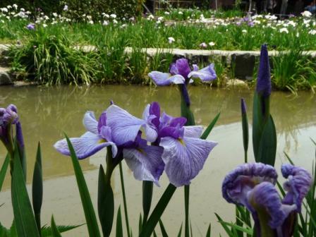 新谷菖蒲園 1