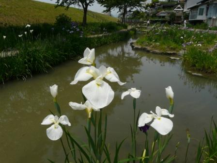 新谷菖蒲園 2