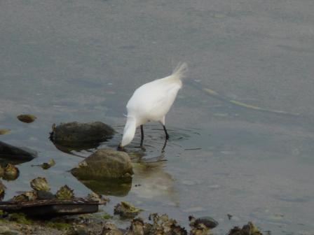 立岩川河口 コサギ 5