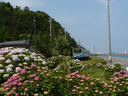長浜町 紫陽花 & キハ54形
