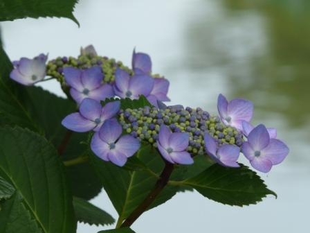 ひょこたん池公園 紫陽花 3
