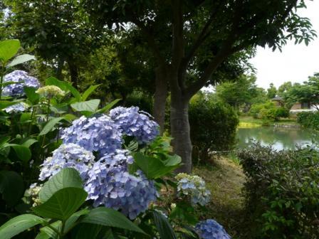 ひょこたん池公園 紫陽花 1