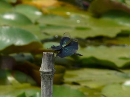 トンボ自然公園 チョウトンボ 1