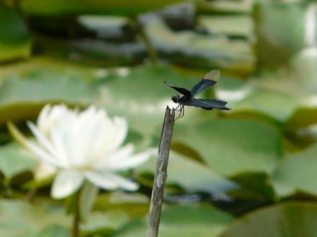 トンボ自然公園 チョウトンボ 2
