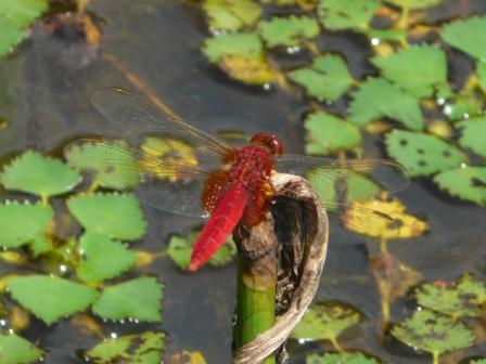 トンボ自然公園 ショウジョウトンボ 1