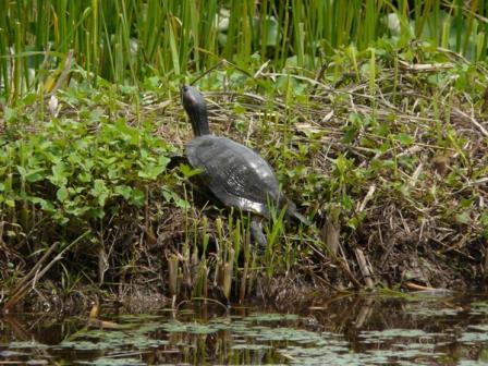 トンボ自然公園 カメ 1