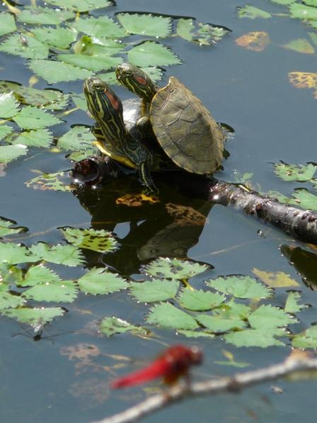 トンボ自然公園 カメ 2