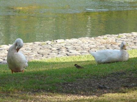 須ノ川公園 アヒルとスズメ