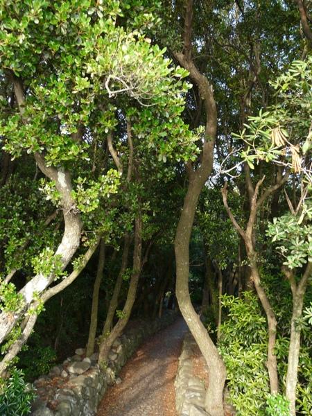 須ノ川公園 ウバメガシ