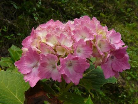 新宮あじさいの里 紫陽花