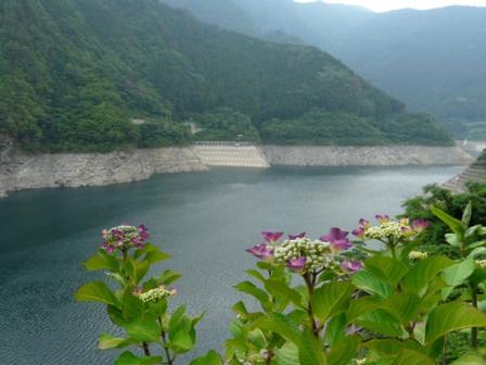 法皇湖 紫陽花 1