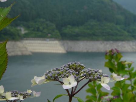 法皇湖 紫陽花 2