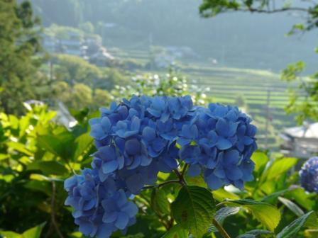 惣河内神社 紫陽花 2