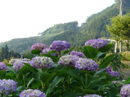 白猪屋 紫陽花 1