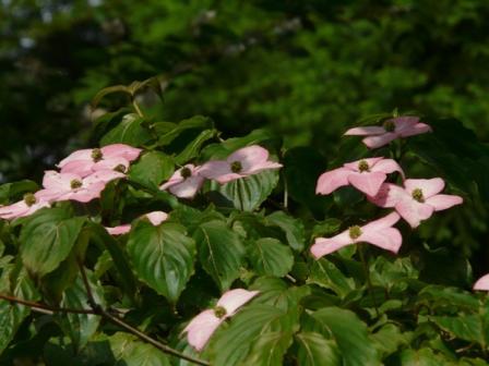 ヤマボウシ ピンクの花 2