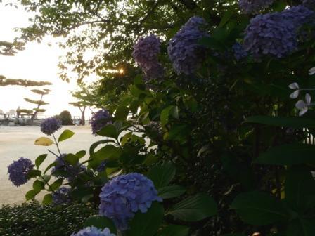 山頂広場の紫陽花