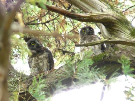アオバズクの幼鳥たち 1