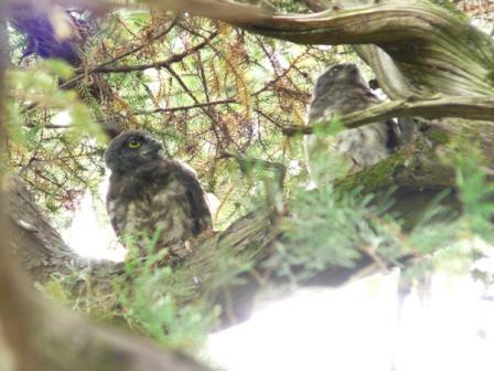 アオバズクの幼鳥たち 2