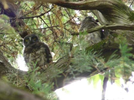 アオバズクの幼鳥たち 3