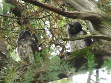 アオバズクの幼鳥たち 4