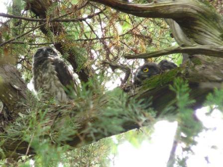アオバズクの幼鳥たち 5