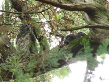アオバズクの幼鳥たち 6